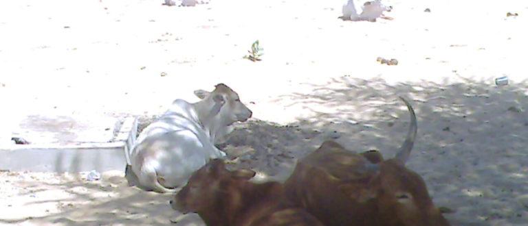 Article : L'Université des vaches et des chèvres