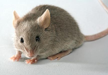 tuer la petite souris eg si l ne ak diam soyez les bienvenus. Black Bedroom Furniture Sets. Home Design Ideas